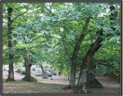 درخت شاه بلوط