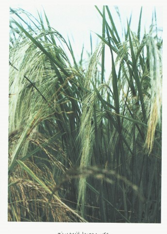 دانلود تحقیق در مورد زراعت برنج دراستان گیلان